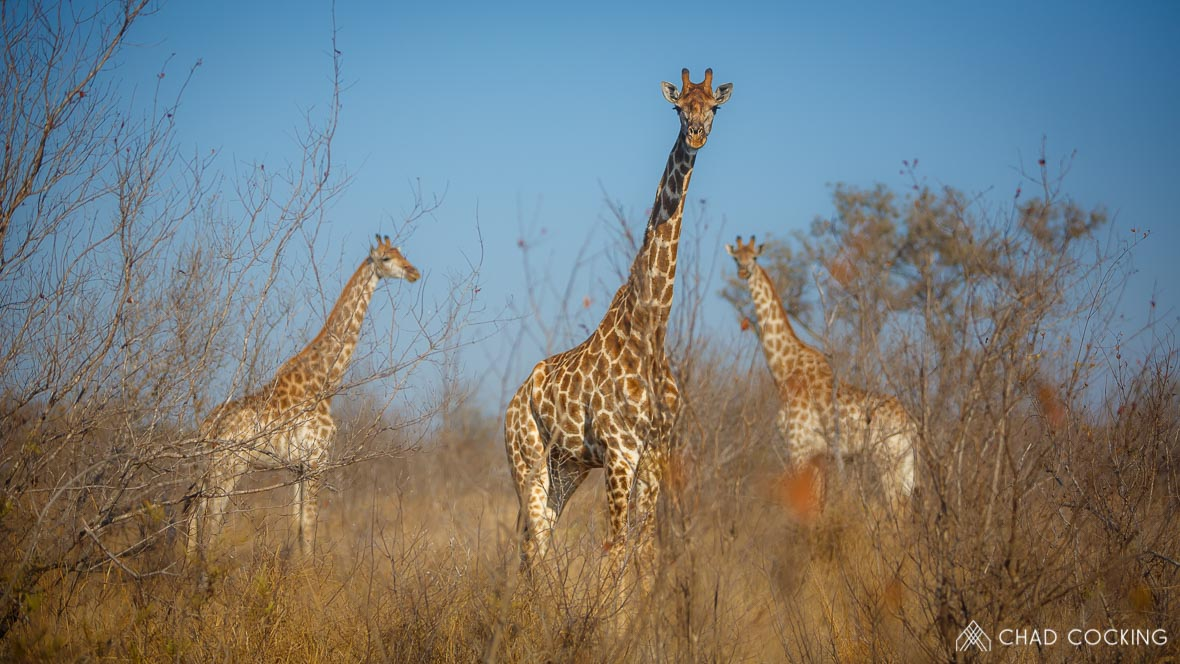 Giraffes at Tanda Tula in the Timbavati Game Reserve, part of the Greater Kruger National Park, South Africa - Photo credit: Chad Cocking