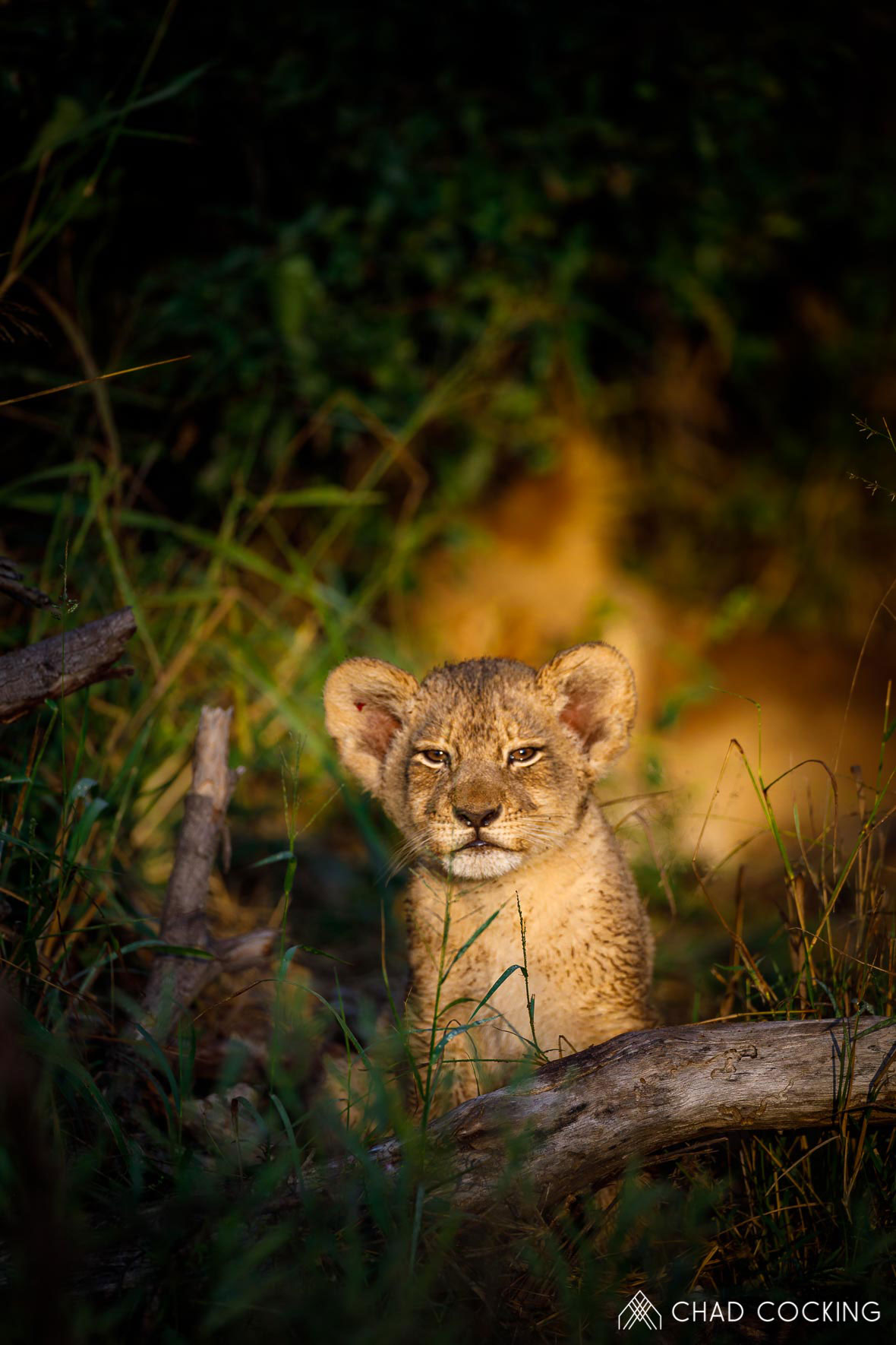 Tanda Tula - Golden lion cub on the best safari in South Africa