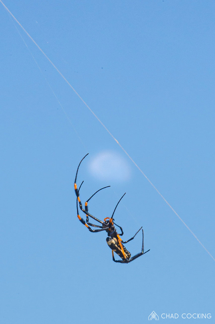 Tanda Tula - golden orb web spider and moon in the Timbavati