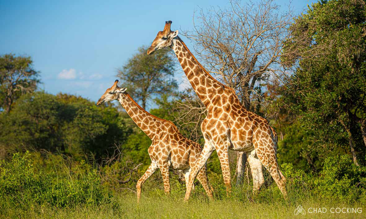 Tanda Tula - graceful giraffes in the Greater Kruger, South Africa
