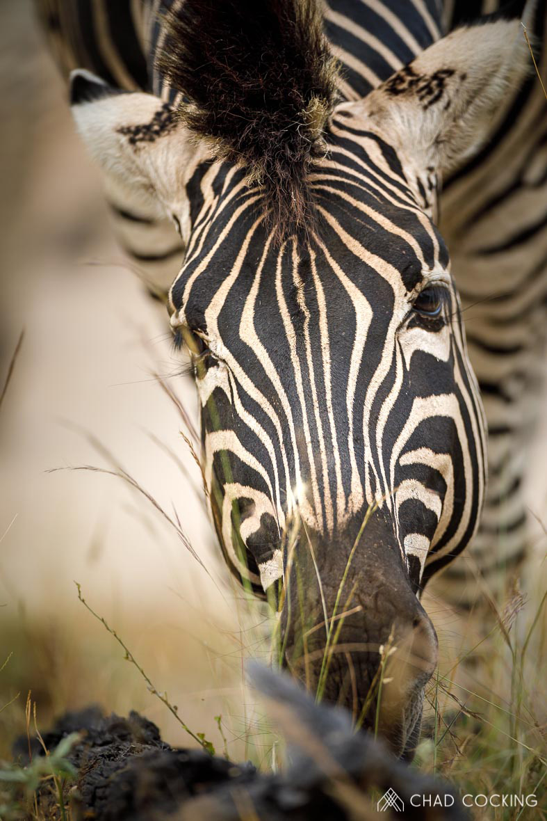Tanda Tula - up close with a zebra in the Greater Kruger