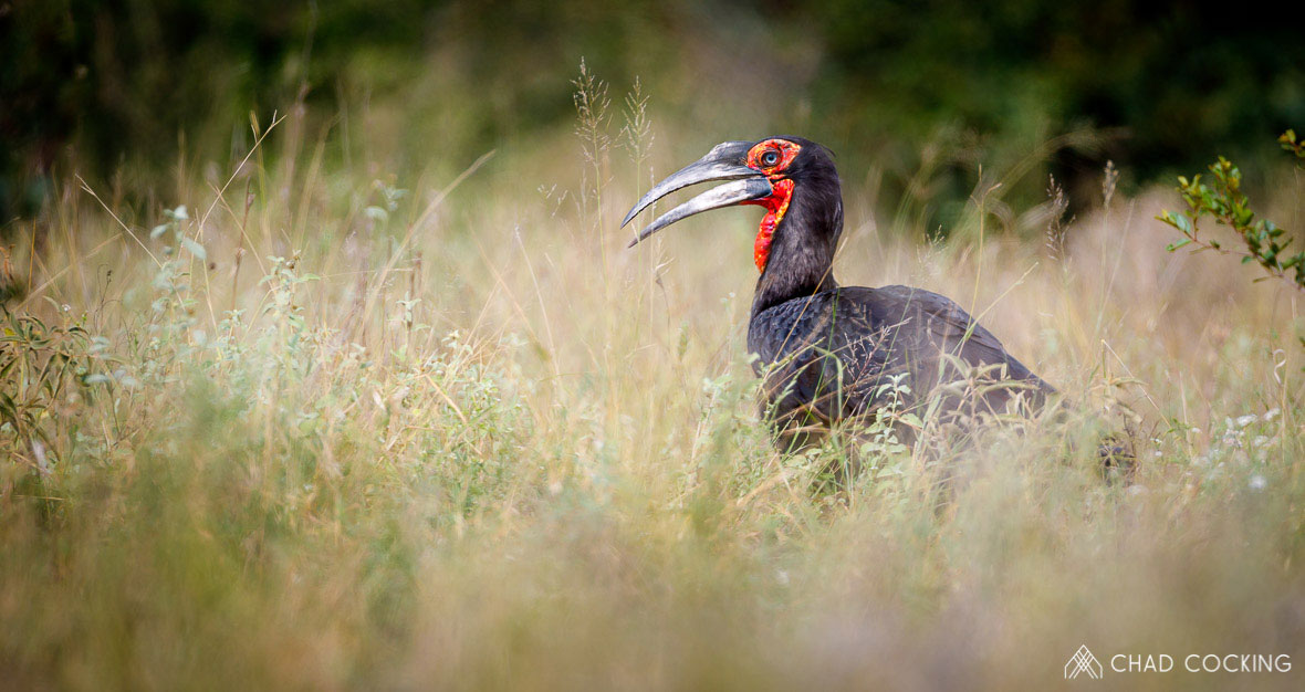 Tanda Tula - Ground Hornbill on a birding safari