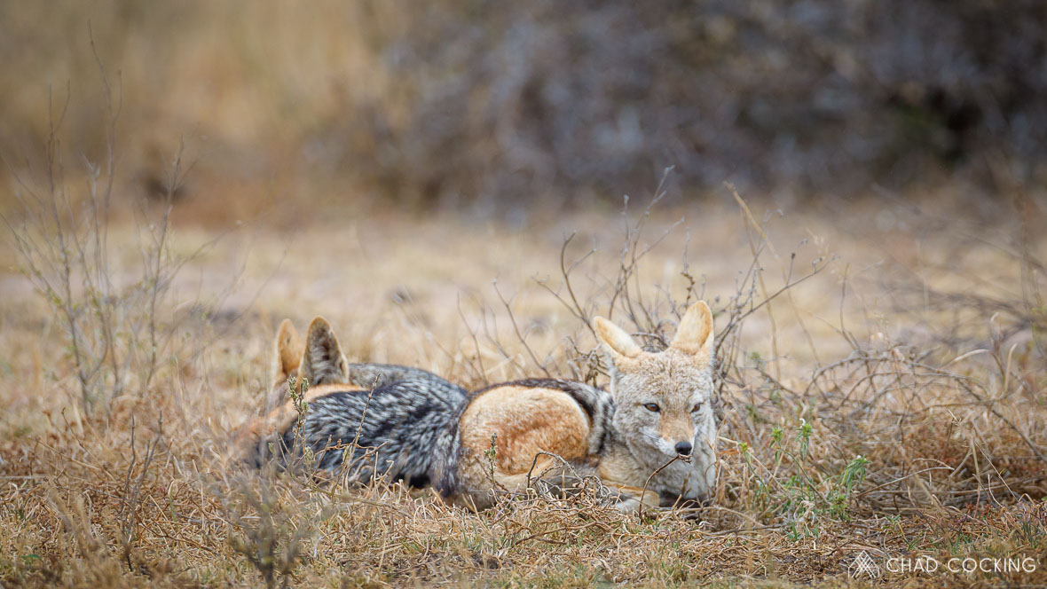 Photo credit: Chad Cocking - Two very cold looking jackals at Tanda Tula in the Timbavati, South Africa