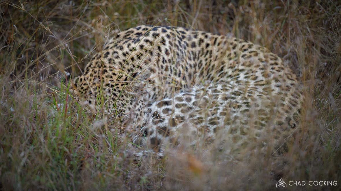 Photo credit: Chad Cocking - A Leopard snuggled up asleep in the grass at Tanda Tula in the Timbavati, South Africa