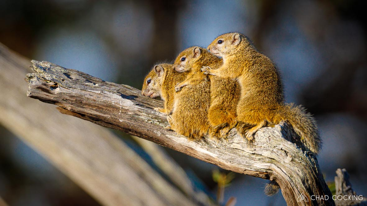 Photo credit: Chad Cocking - 3 little squirrels huddled together trying to stay warm on a very cold day at Tanda Tula in the Timbavati, South Africa