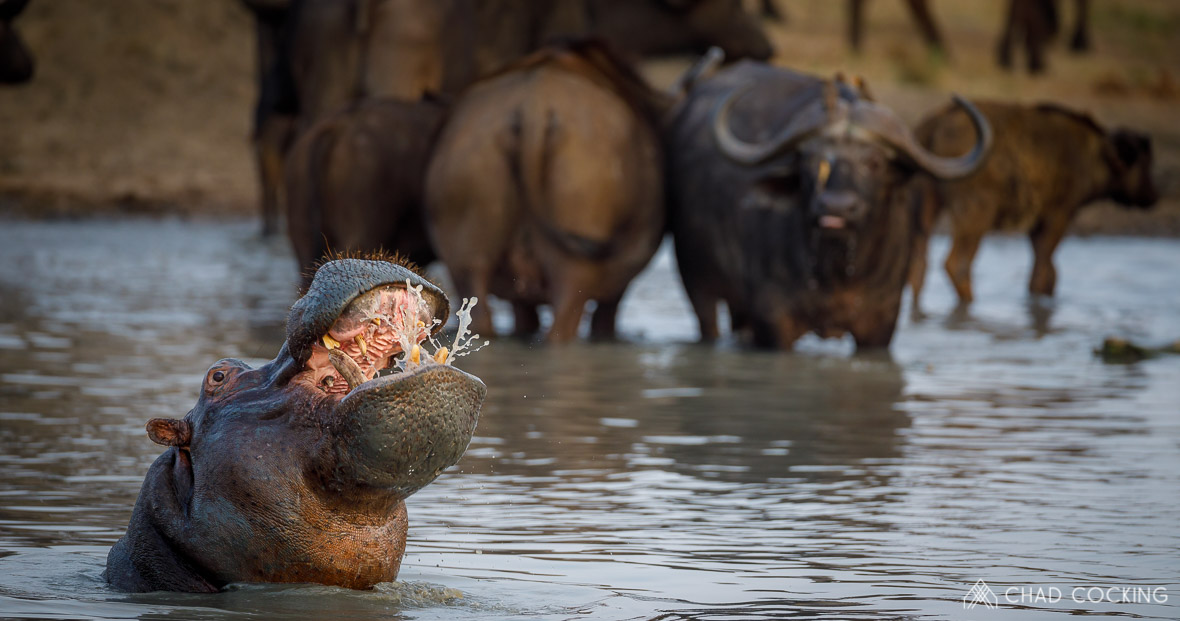 Hippo at Tanda Tula in the Timbavati Game Reserve, part of the Greater Kruger National Park, South Africa - Photo credit: Chad Cocking