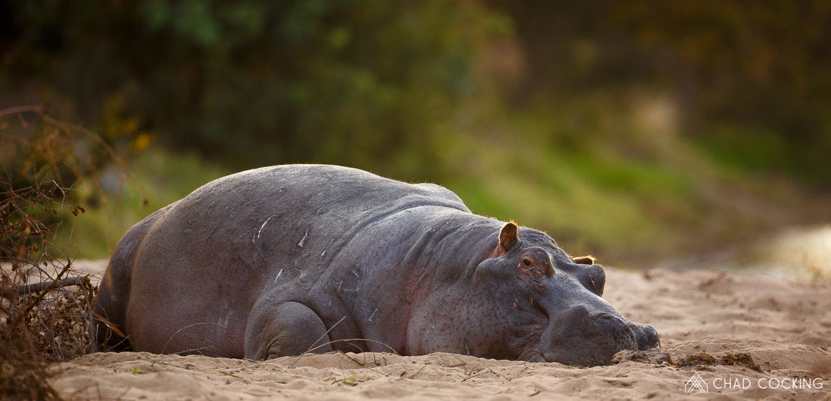 Tanda Tula - hippo resting on a hot day in the Timbavati