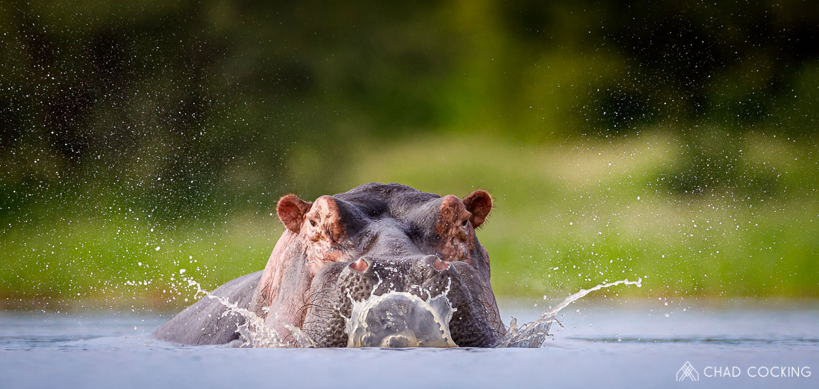 Tanda Tula - hippo in the Greater Kruger, South Africa