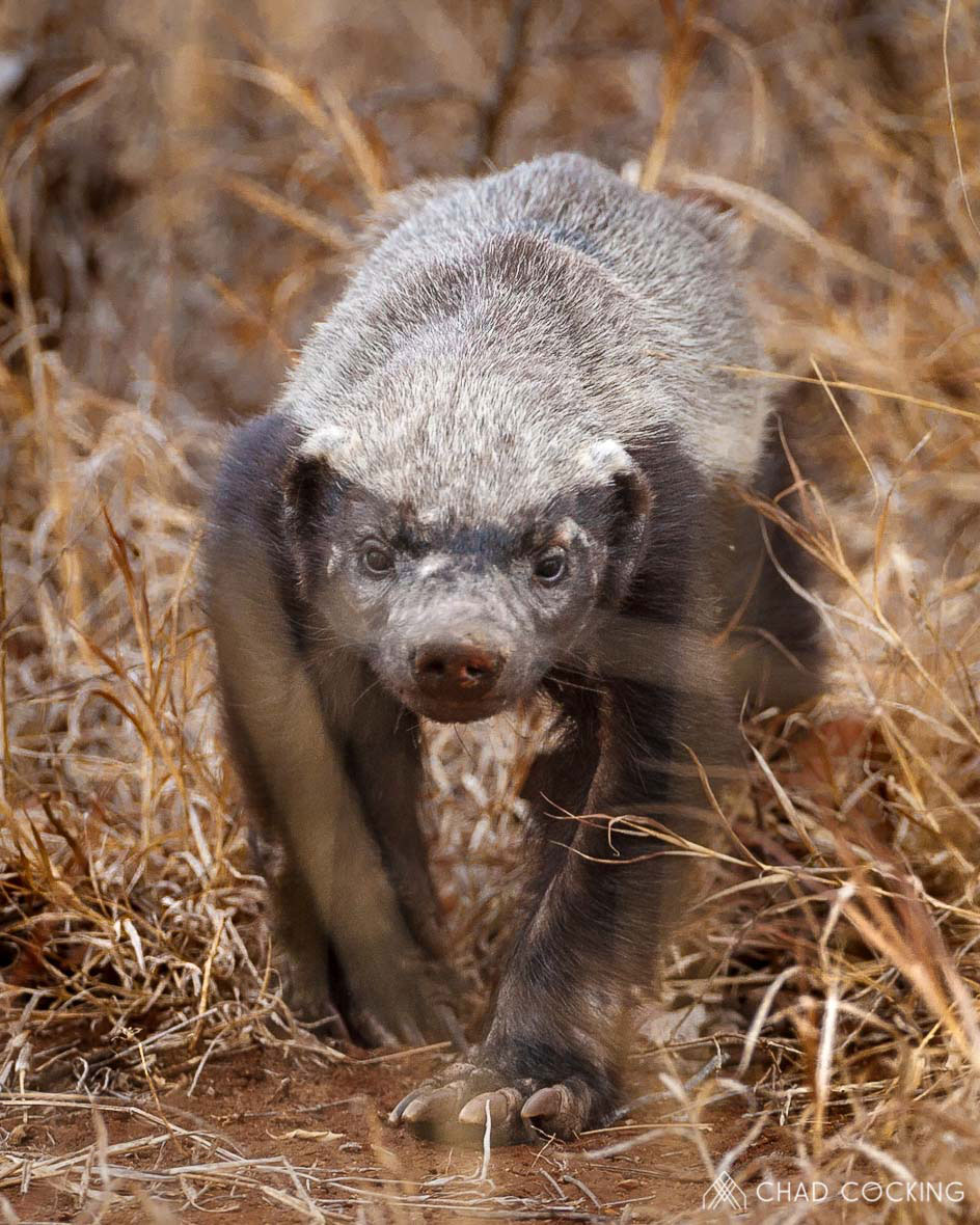 Tanda Tula - honey badger on the move in the Timbavati, South Africa