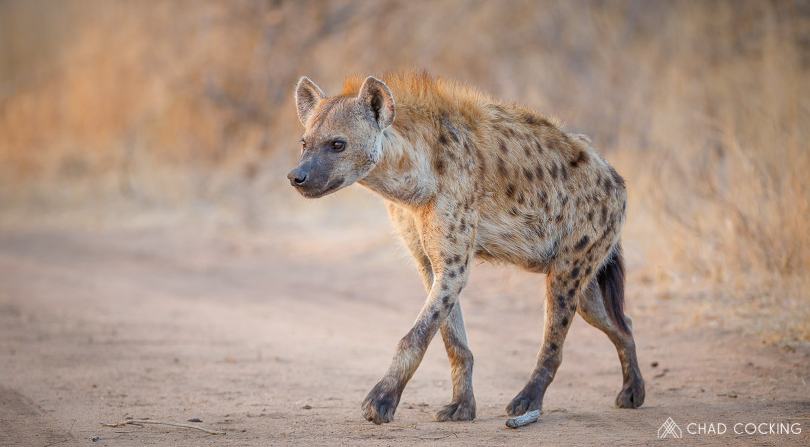 Tanda Tula - hyena on a game drive in South Africa