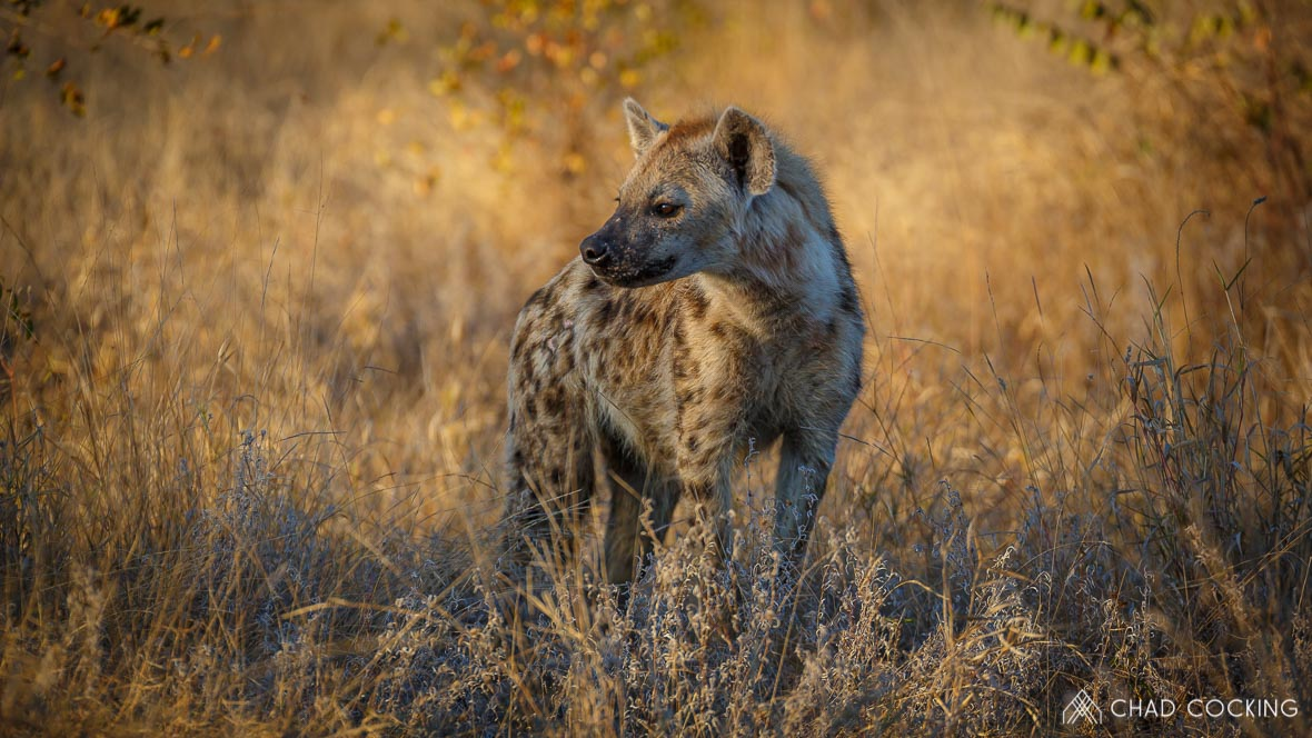 Photo credit: Chad Cocking | A hyena at Tanda Tula in the Timbavati Game Reserve, South Africa.