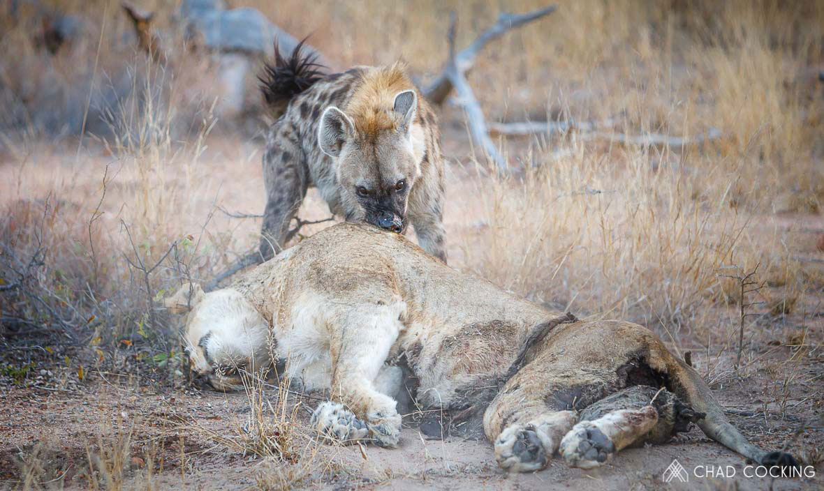Tanda Tula - hyena eating the remains of a Zebenine Pride lioness
