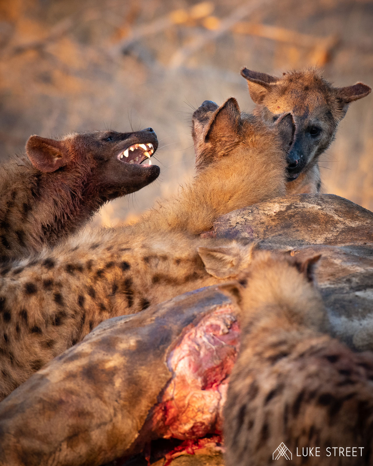 Tanda Tula - 9 facts about hyenas in South Africa
