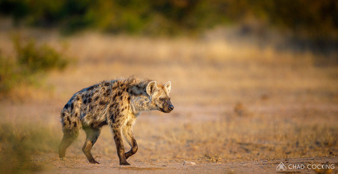 Tanda Tula - hyena on a photographic safari in the Timbavati