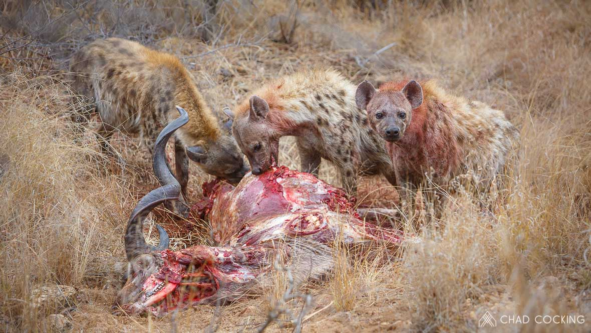 Hyenas eating a kudu at Tanda Tula in the Timbavati Game Reserve, part of the Greater Kruger National Park, South Africa - Photo credit: Chad Cocking