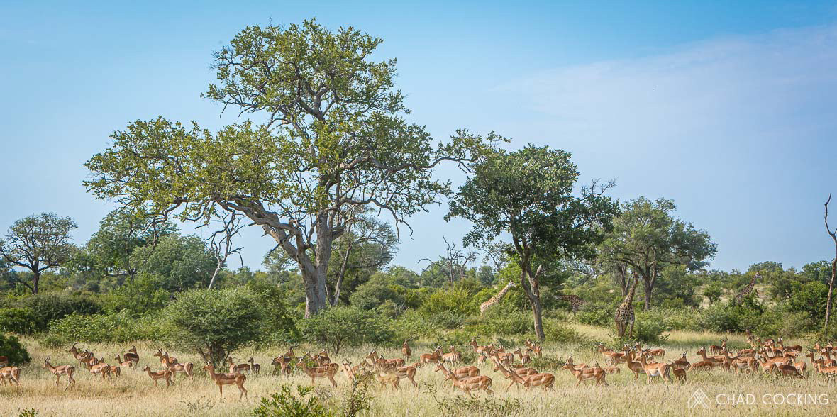 Tanda Tula - impala and giraffe herds gathered together in the Greater Kruger