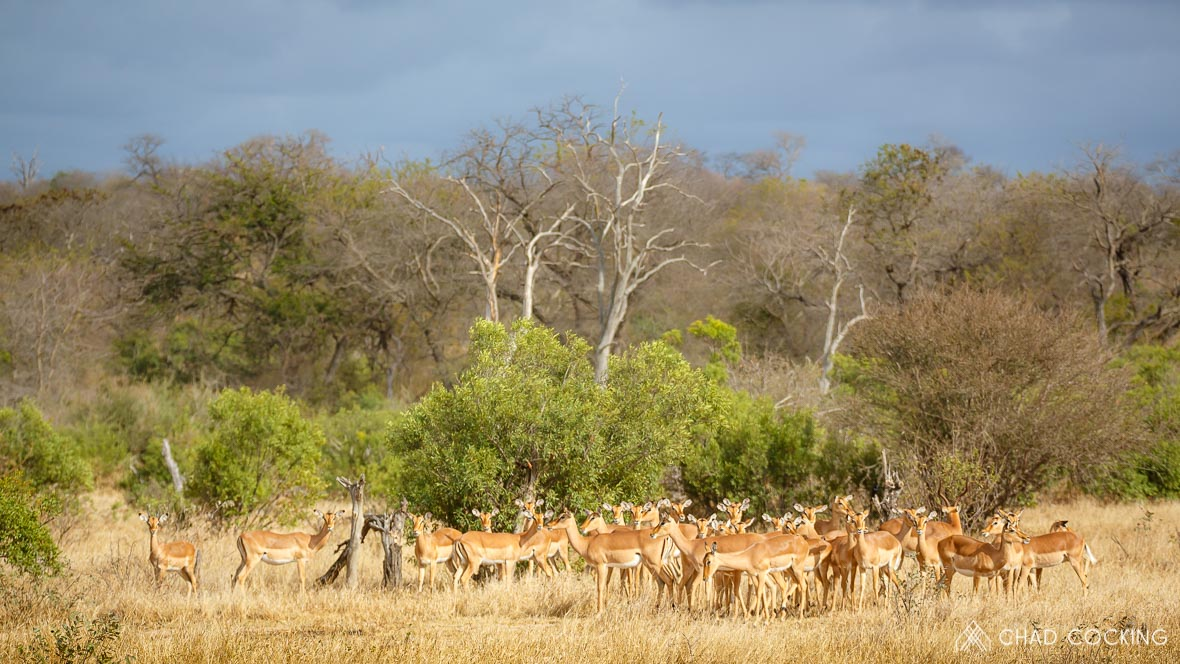 Photo credit: Chad Cocking - Herd of Impala at Tanda Tula in the Timbavati Game Reserve, South Africa.