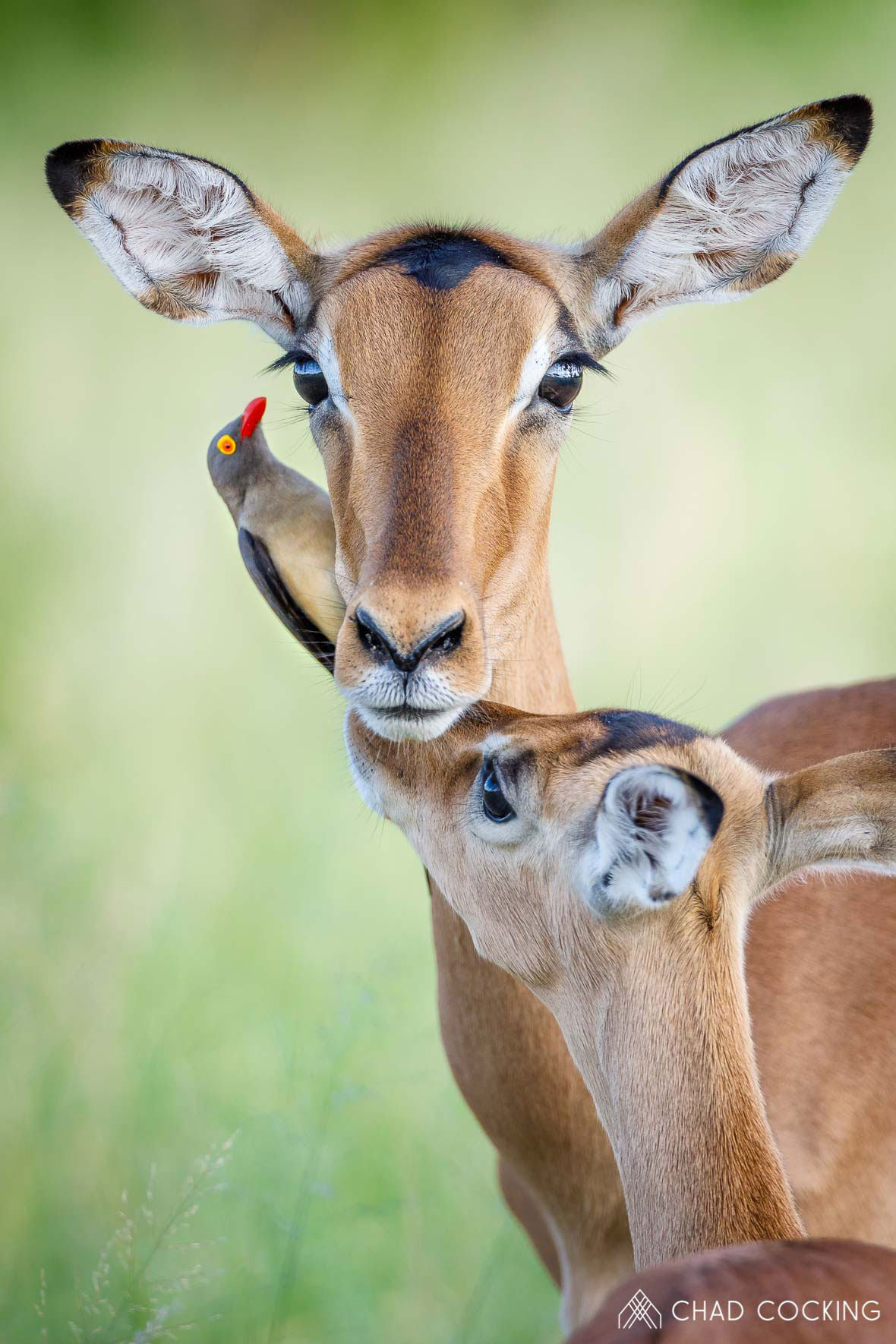 Tanda Tula - impala mother and daughter