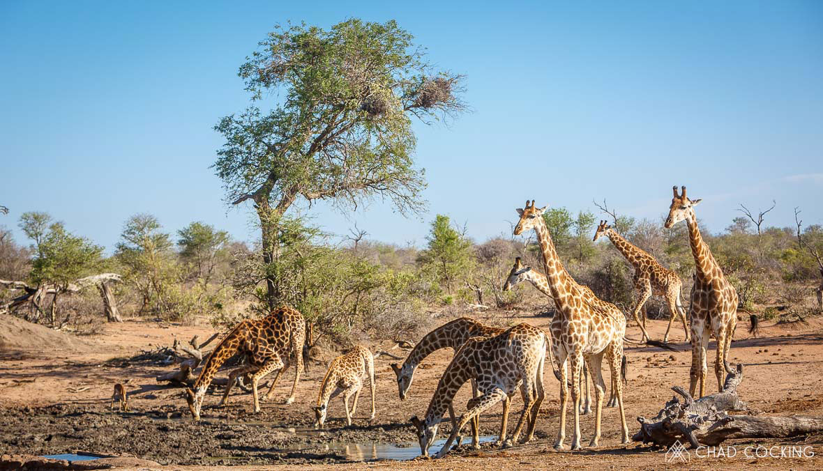 Tanda Tula - Journey of giraffes