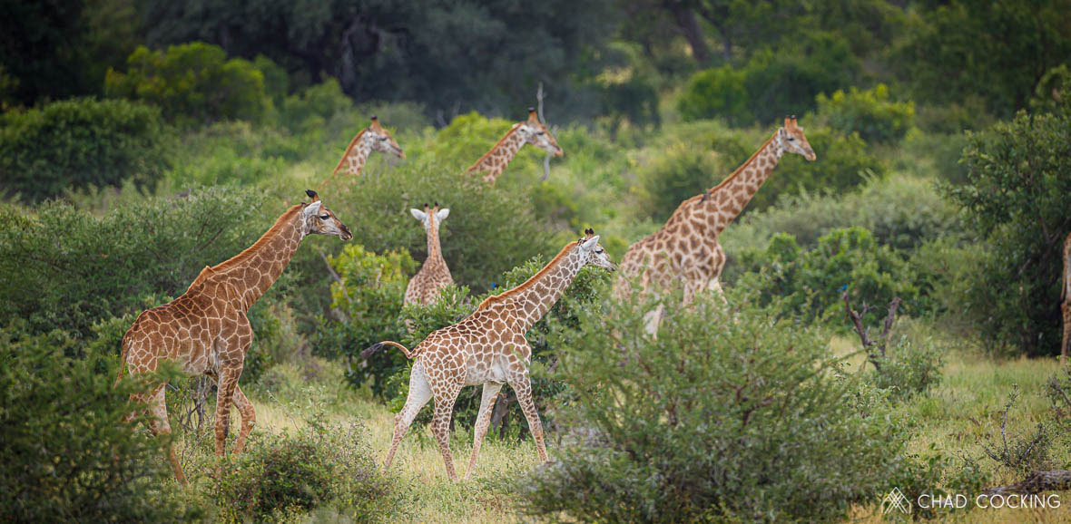 Tanda Tula - journey of giraffes in the Timbavati, South Africa