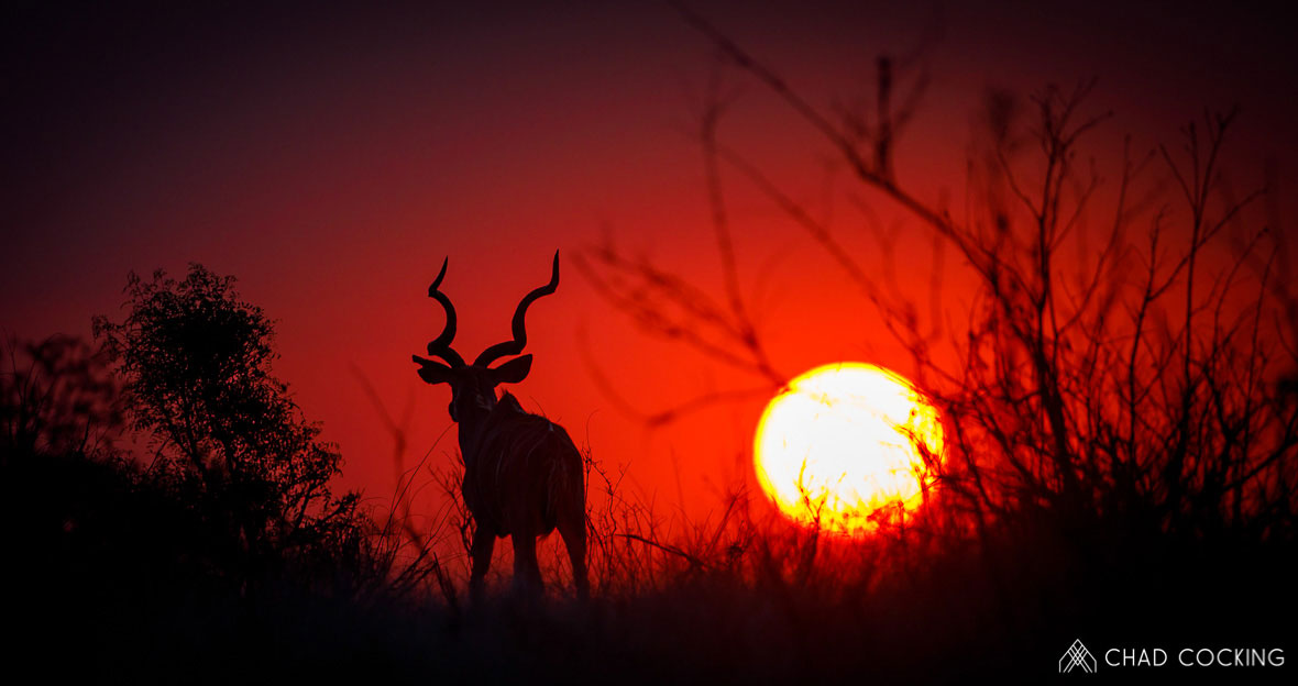Tanda Tula - kudu bull at sunset