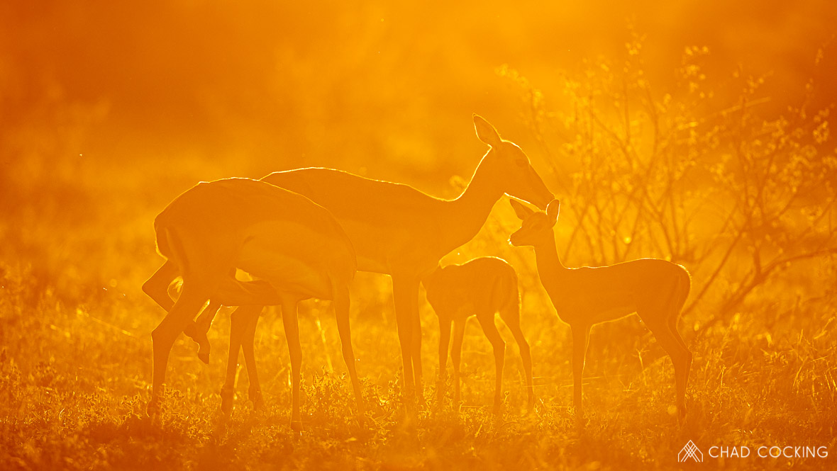 Tanda-Tula impalas in last light of the day, Timbavati