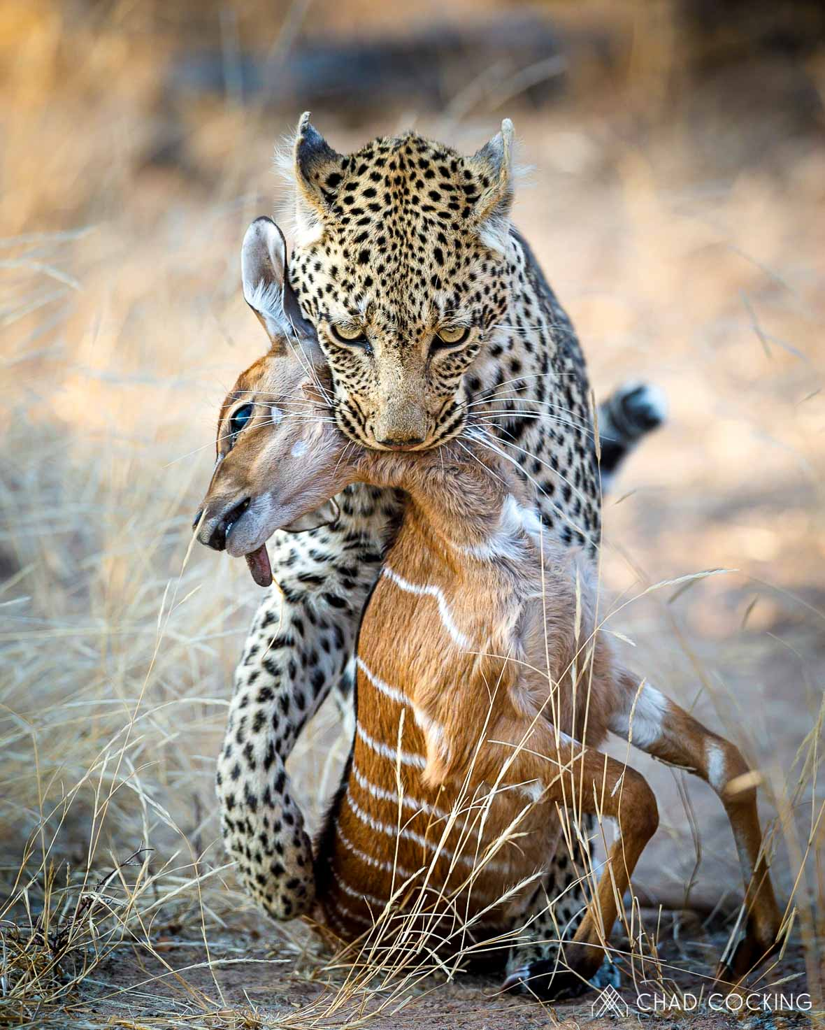 Tanda-Tula leopard kill by Chad Cocking in Contrasts