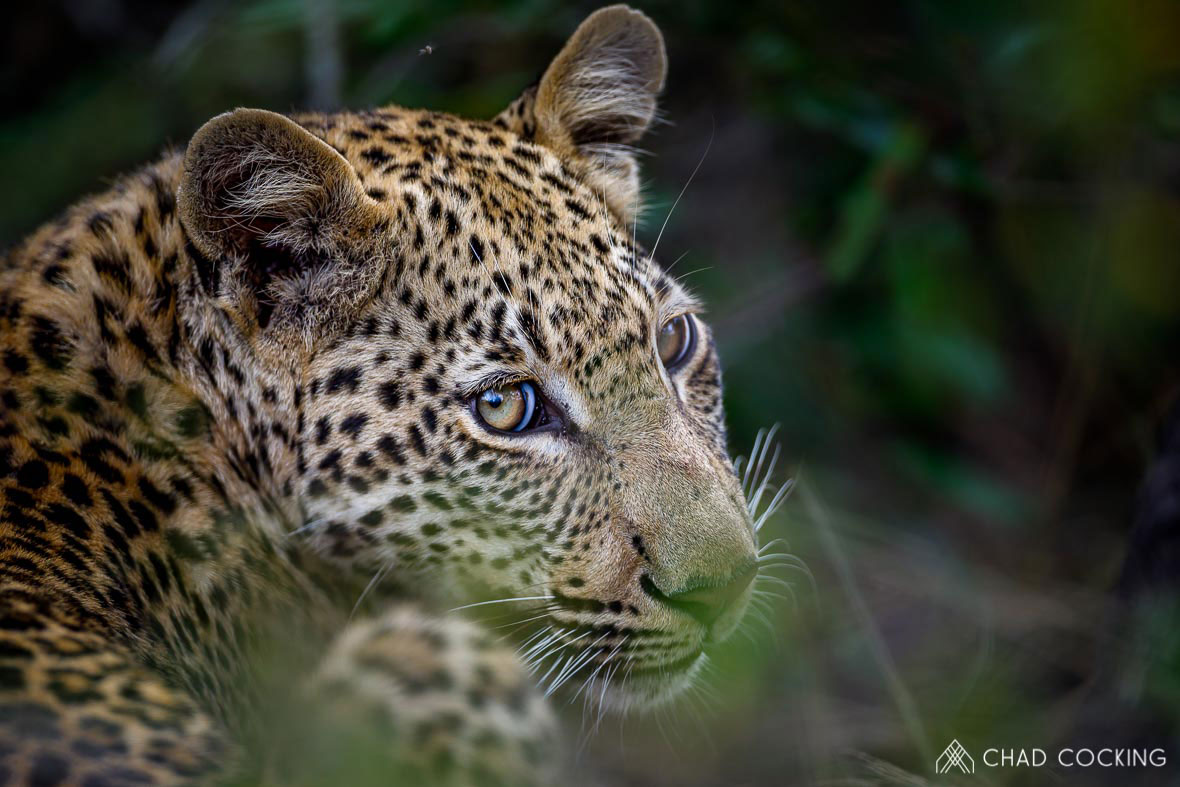 Tanda Tula - leopard portrait in the Greater Kruger on safari