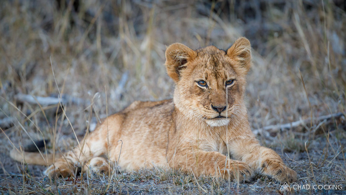 A lion cub at Tanda Tula in the Timbavati Game Reserve, part of the Greater Kruger National Park, South Africa - Photo credit: Chad Cocking