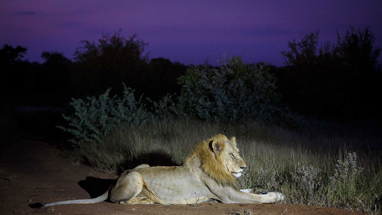 Tanda Tula - lion on safari in the Greater Kruger, South Africa