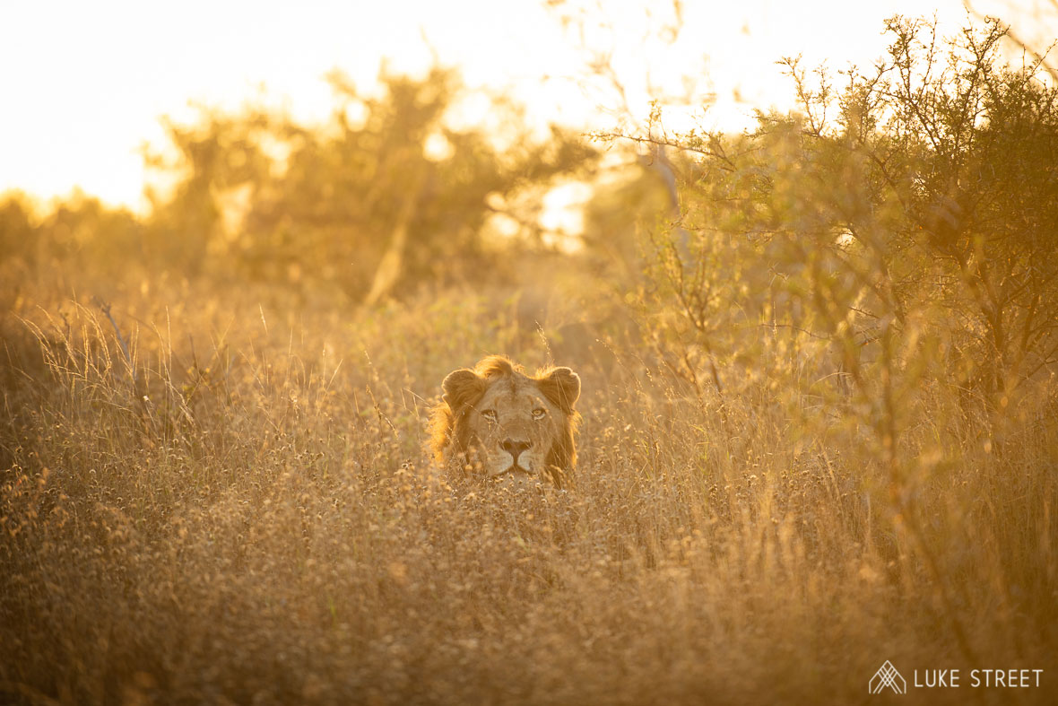 Tanda Tula - lion in the Timbavati on the best safari in South Africa