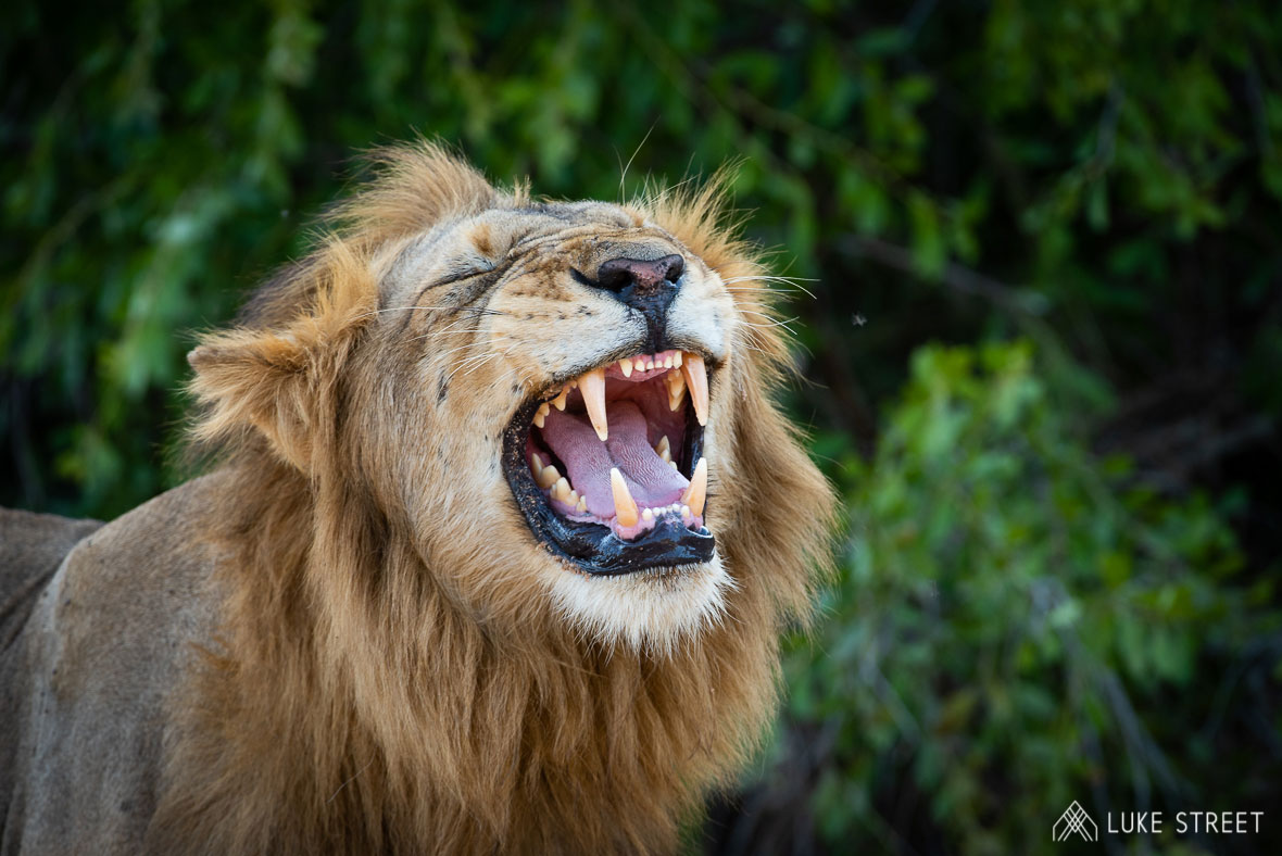 Tanda Tula - lion roaring in the Greater Kruger, South Africa