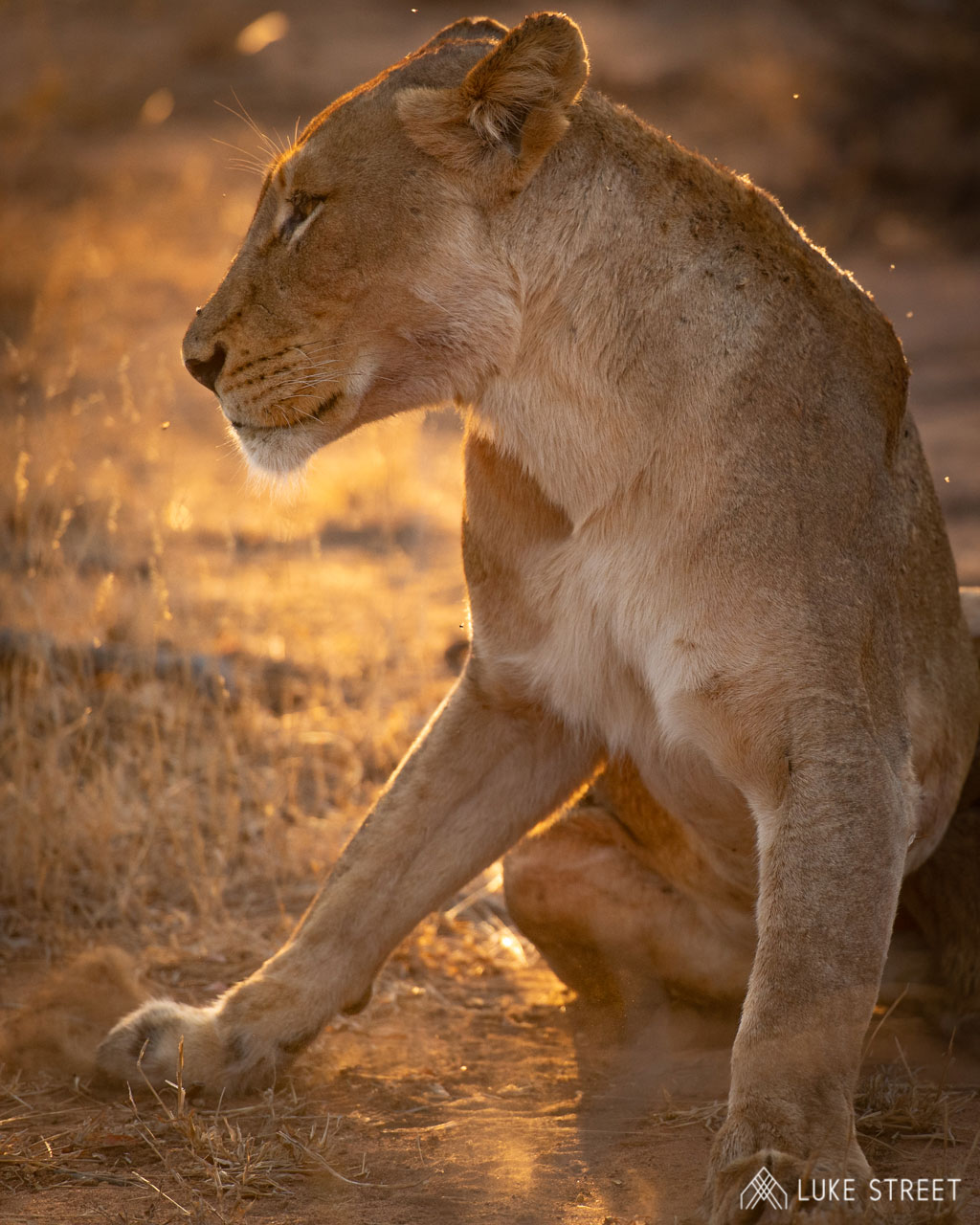 Tanda Tula - Lioness in the Greater Kruger