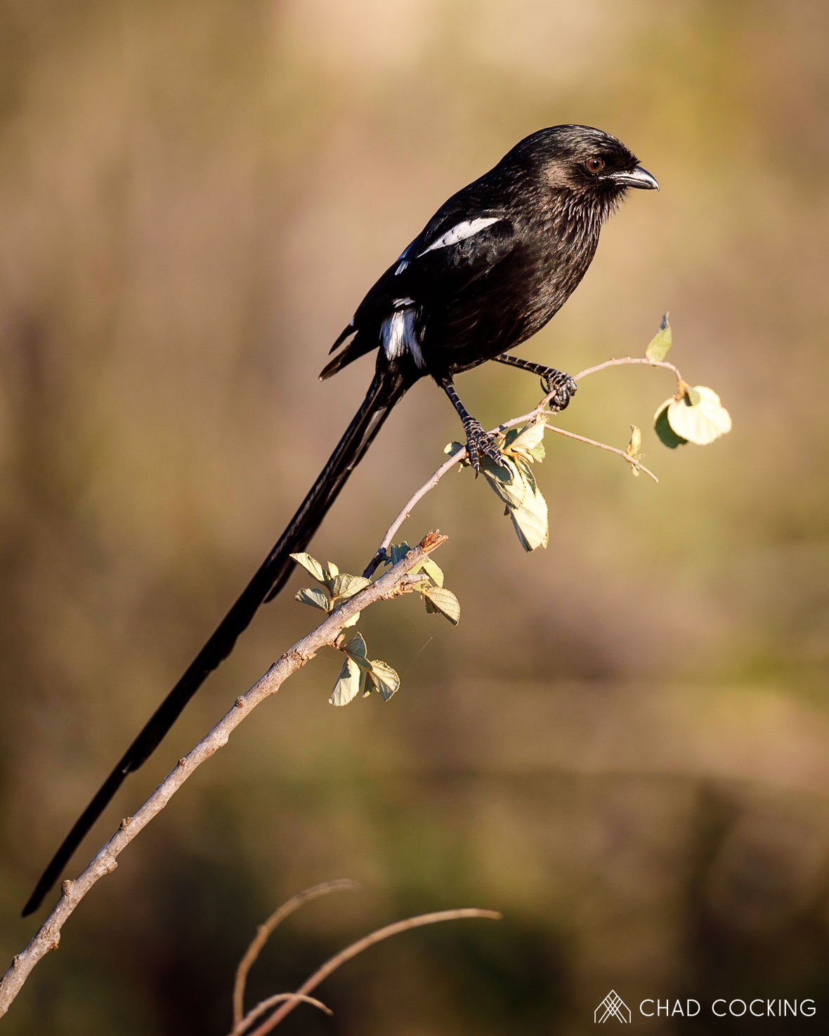Magpie Shrike - Tanda Tula in the Timbavati Game Reserve, part of the Greater Kruger National Park, South Africa - Photo credit: Chad Cocking