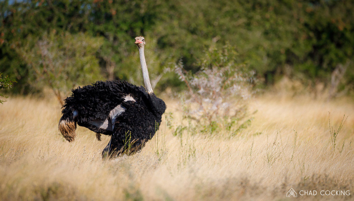 Tanda Tula - male ostrich in the Greater Kruger, South Africa