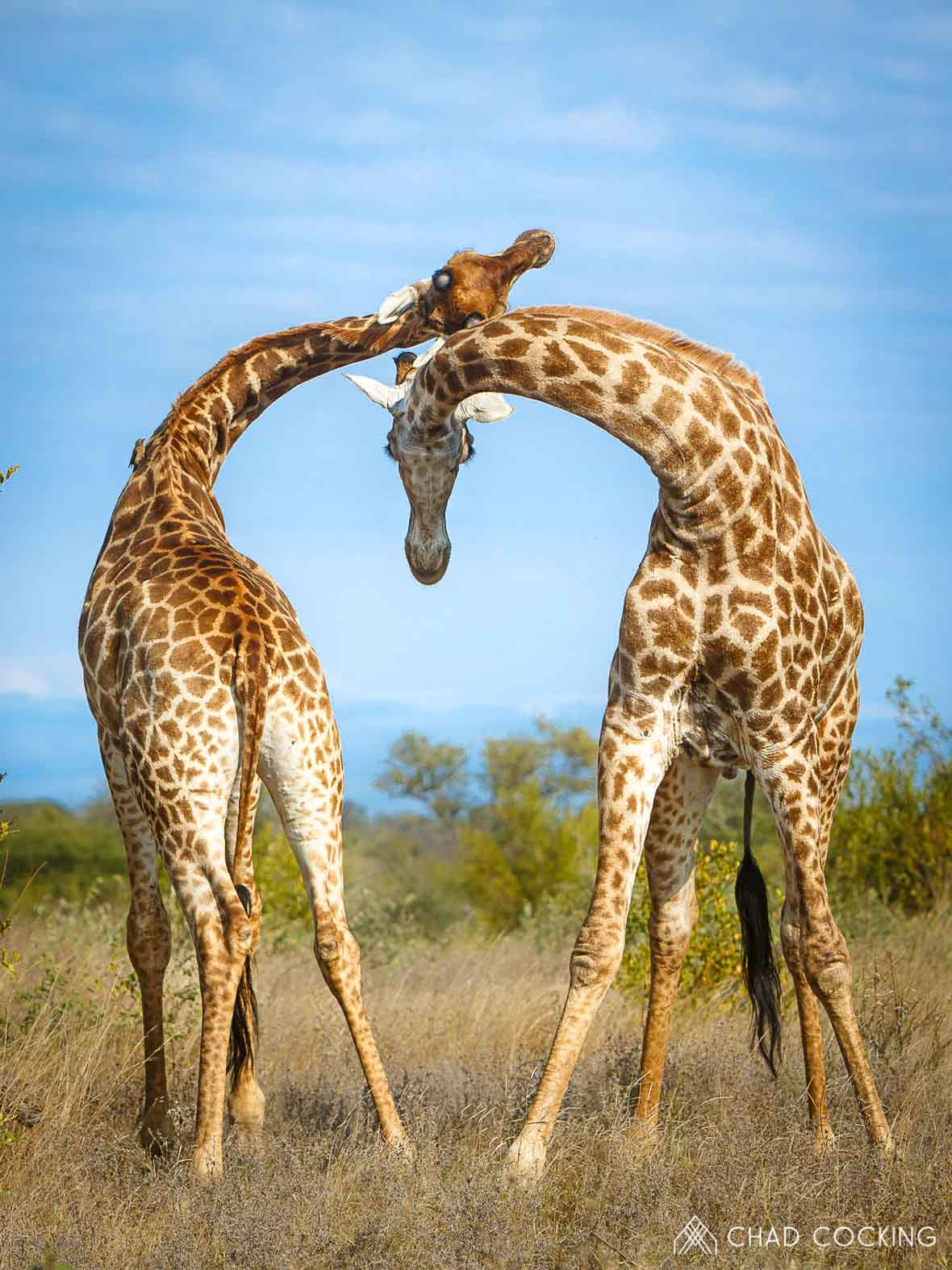 Tanda Tula - necking giraffes on the best safari in South Africa