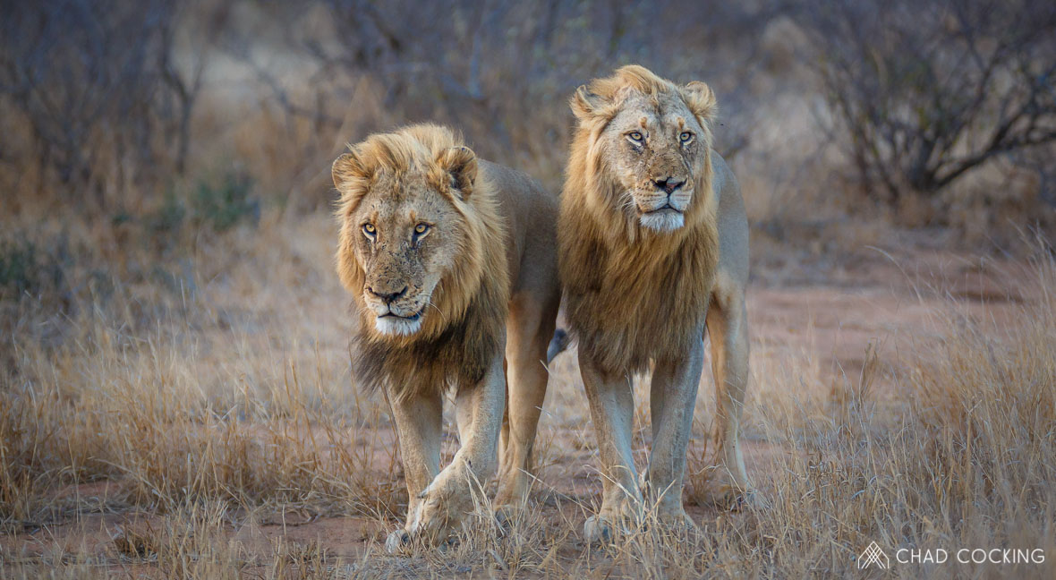 Tanda Tula - Nharhu male lions in the Greater Kruger