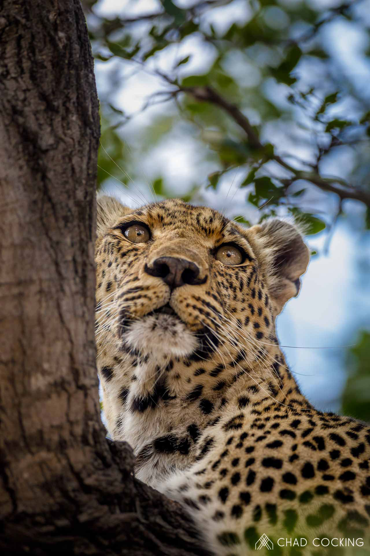 Tanda Tula - Nthombi leopard in the Greater Kruger, South Africa