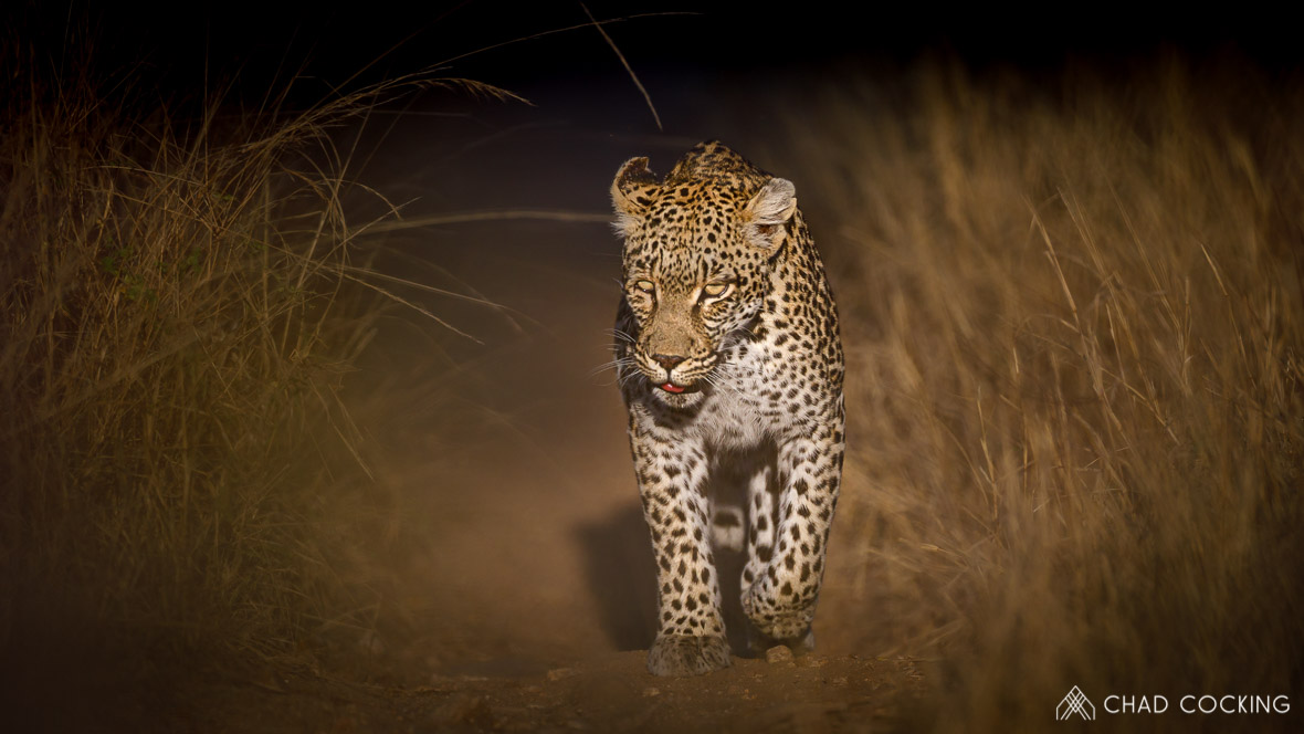 Photo credit: Chad Cocking - Leoperd at night walking down a path towards the photographer at Tanda Tula in the Timbavati Game Reserve, South Africa.