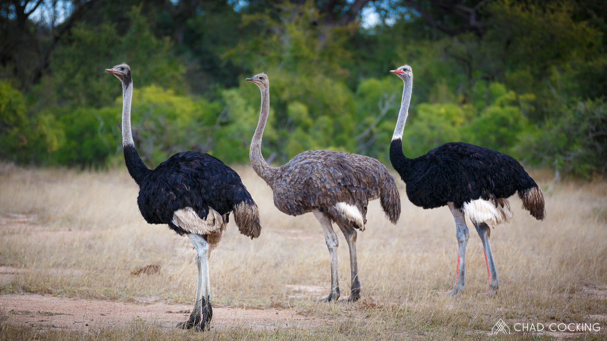 Photo credit: Chad Cocking - Ostriches at Tanda Tula in the Timbavati, South Africa