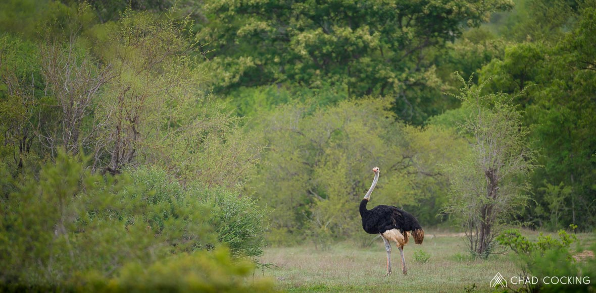 Tanda Tula - ostrich in the Timbavati