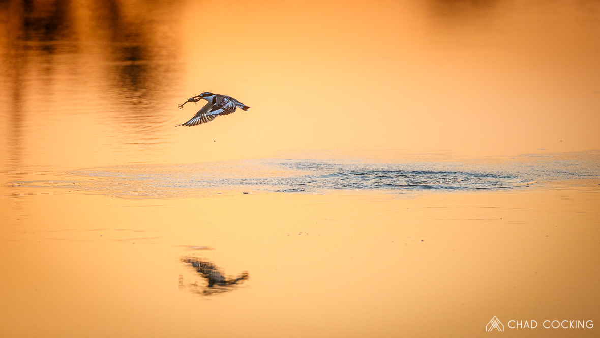Photo credit: Chad Cocking - Pied Kingfisher at sunset having just caught a fish at Tanda Tula in the Timbavati Game Reserve, South Africa.