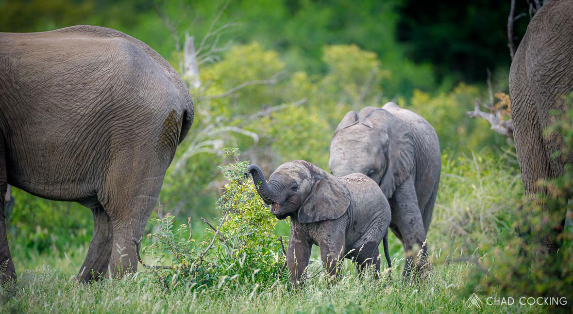 Tanda Tula - elephant calves in the Greater Kruger