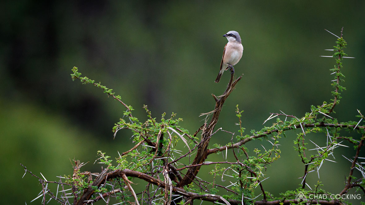 Tanda-Tula red-backed shrike, Timbavati