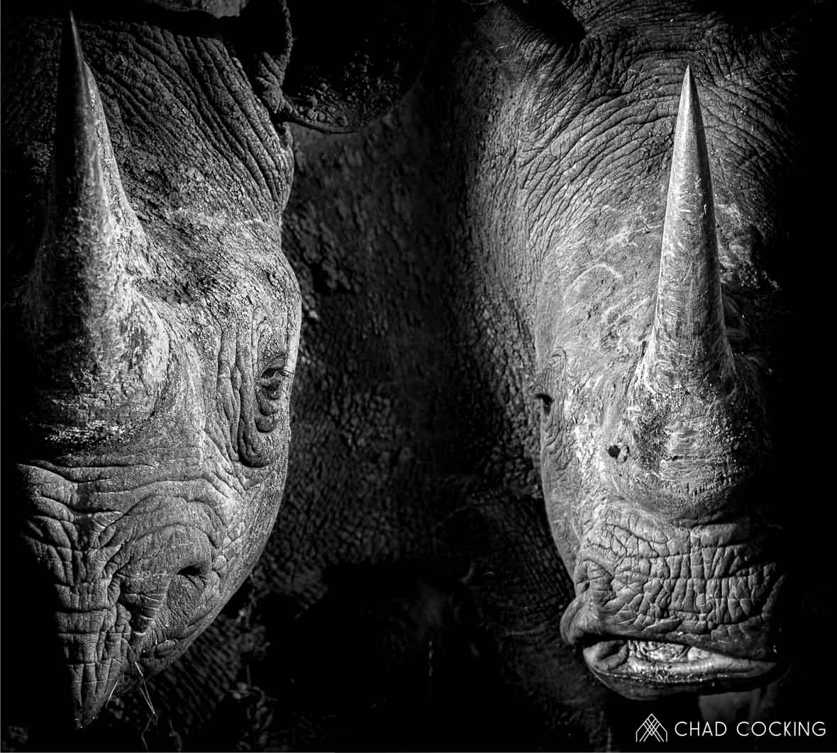Tanda-Tula rhinos by Chad Cocking in Contrasts