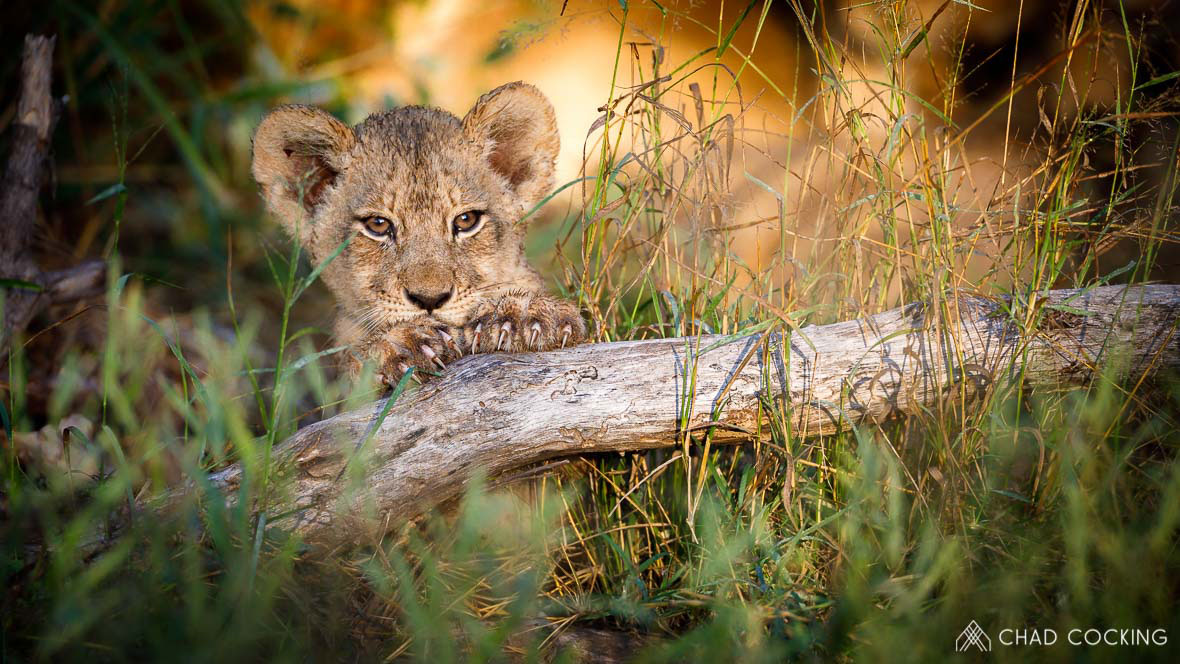 Tanda Tula - River Pride cub on safari in South Africa