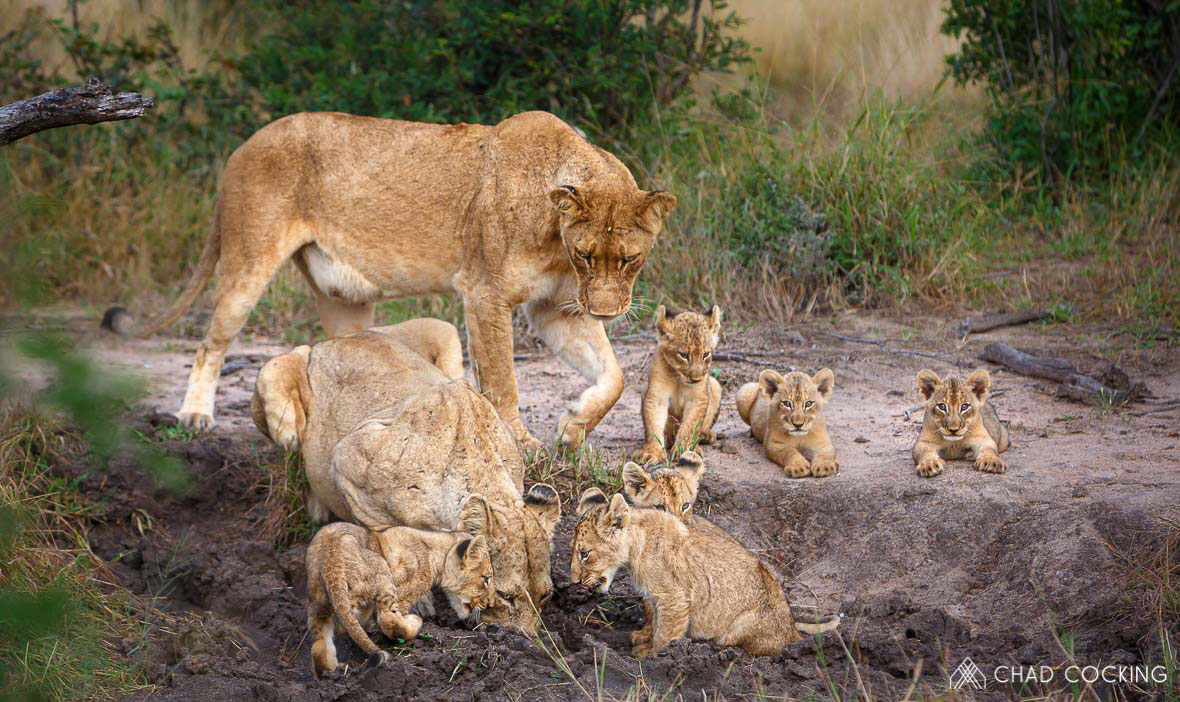Tanda Tula - River Pride cubs on safari in South Africa