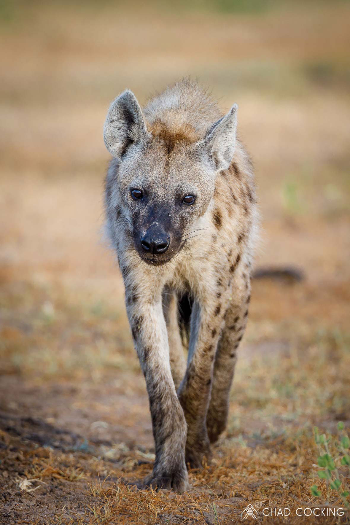 Tanda Tula - spotted hyena in the Greater Kruger