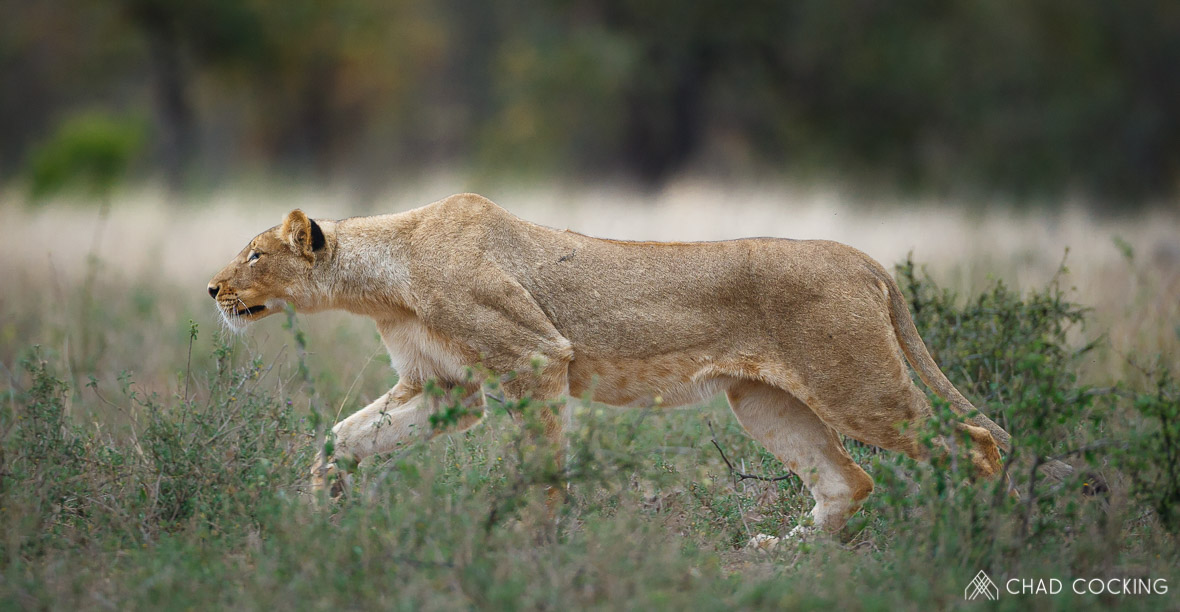 Tanda Tula - stalking lioness on a photographic safari