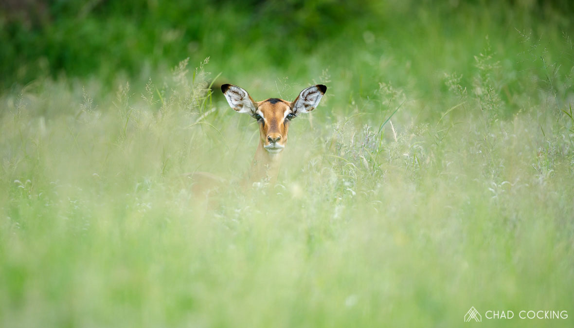 Tanda Tula - Impala in the Greater Kruger Park, South Africa